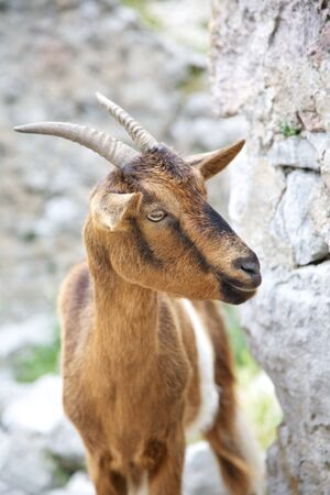 goat at Gorge of River Cares in Asturias Spain photo