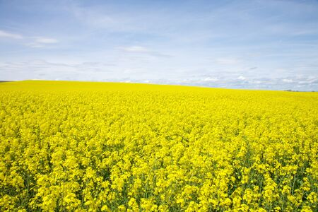 great field full of yellow flowers at Castilla Spain photo