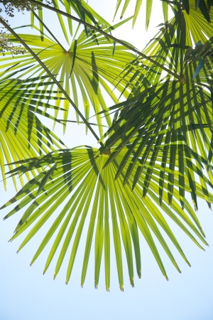 palm leaves: public garden free access next to Royal palace at Madrid Spain