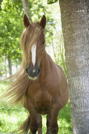 capelli biondi: biondi capelli lunghi cavallo criniera da corsa Asturcon vicino Cangas de Onis a Asturias in Spagna