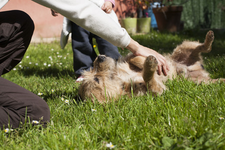 lawn grass: woman hand touching and petting a brown terrier breed dog belly lying on his back over green grass lawn