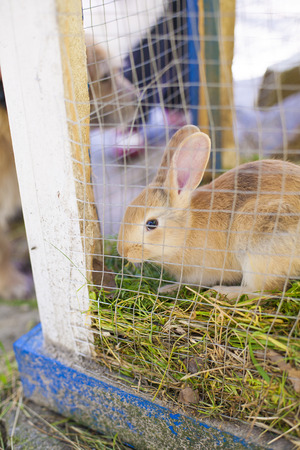 hutch: brown rabbit eating grass inside hutch and green wire