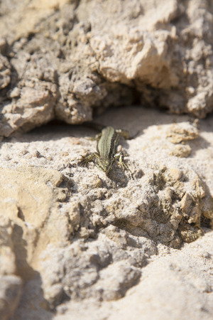 scamper: lizard on sandy rock in a beach of Asturias Spain Stock Photo