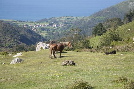 horse blonde: blonde long hair mane horse Asturcon race near Cangas de Onis in Asturias Spain