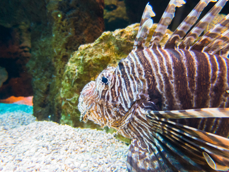 firefish: saltwater tropical fish named spotfin lionfish or broadbarred firefish, Pterois antennata, on a rock inside ocean water