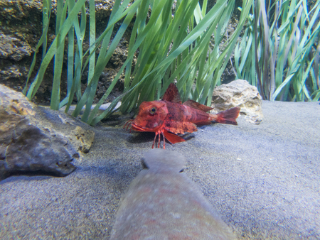 saltwater fish: saltwater fish red color on sand next to green seaweed unknown name in ocean water