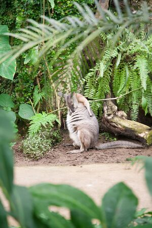 marsupial: young kangaroo Macropus Eugenii, known as Tammar Wallaby or Dama or Darma, a marsupial from Macropodidae family, between green plants Stock Photo