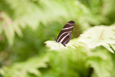 longwing: beautiful tropical black with white bands butterfly named Heliconius charitonius or charitonia, from Nymphalidae family, also known as Zebra Longwing or Heliconian, on green leaf plant