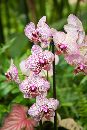 phal: beautiful tropical white pink flower named Phalaenopsis, also known as moth orchid or Phal