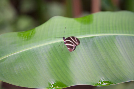 longwing: beautiful tropical brown with white bands butterfly named Heliconius charitonius or charitonia, from Nymphalidae family, also known as Zebra Longwing or Heliconian, on green leaf plant