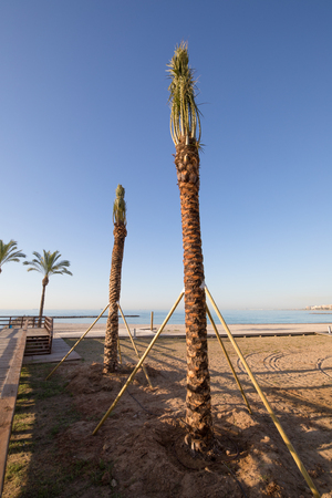 two palm trees freshly planted held with wooden sticks in Els Terrers Beach, Benicassim, Castellon, Valencia, Spain, Europe. Boardwalk, buildings, blue clear sky and Mediterranean Sea