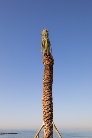 detail van palmboom vers geplant gehouden met houten stokken in Els Terrers Beach, Benicassim, Castellon, Valencia, Spanje, Europa. Blauwe heldere lucht en de Middellandse Zee