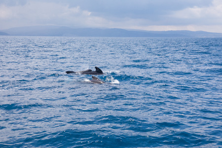 herd of pilot whales, blackfish or cetaceans in the family Globicephala, swimming in blue water of Atlantic Ocean, in Strait of Gibraltar