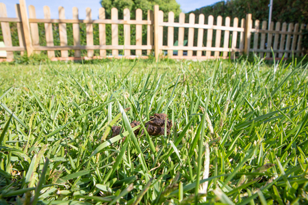 brown dog poop or shit in green grass lawn with wooden fence 版權商用圖片