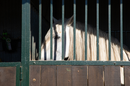 white horse looking behind bars locked in the stable in a riding center Imagens