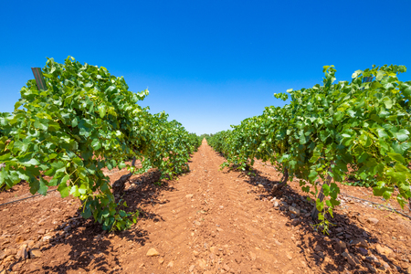landscape with field of green grapevines, brown earth and blue sky, in Ciudad Real land (Castilla La Mancha, Spain, Europe)