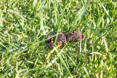 detail close up of brown dog poop or shit in green grass lawn 版權商用圖片