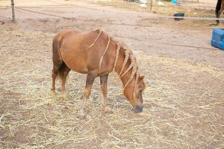 Spanish domestic brown horse with blonde hair with pigtails, grazing hay on a plot of a farm Фото со стока