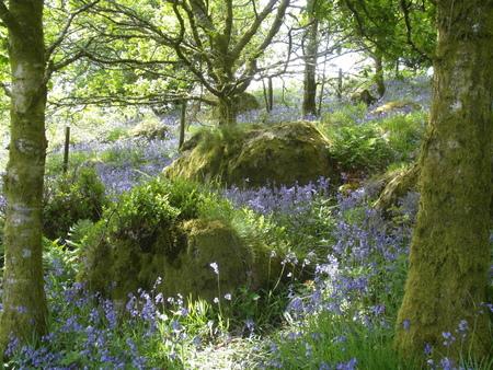 glades: Bluebells on Dartmoor in Devon, England, in spring. Stock Photo