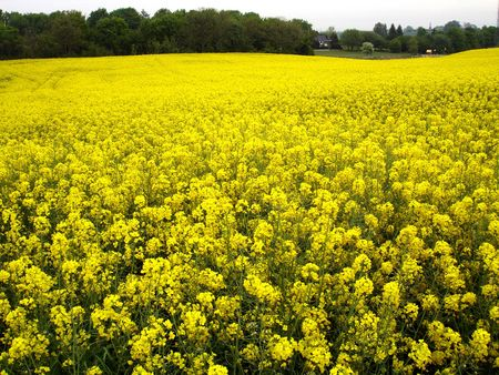 Field of rapeseed Stock Photo - 3728545