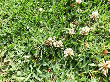 green grass lawn with small white bee flowers close up soft texture nature background
