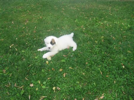 great pyrenees: Puppy in the Grass