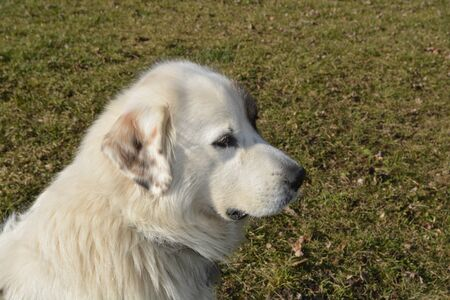 great pyrenees: Dog Looking Out Into the Field