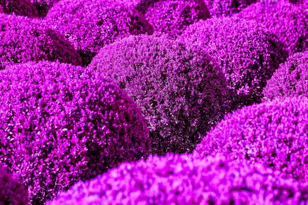 boxwood: Boxwood digitally colored in purple color