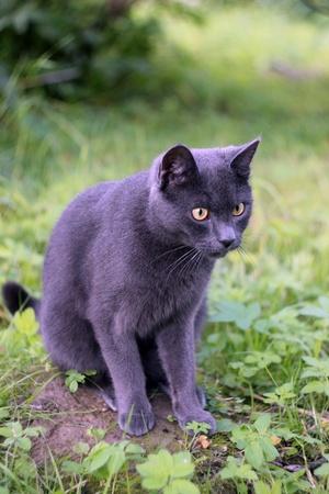Russian cat Stock Photo - 16481876