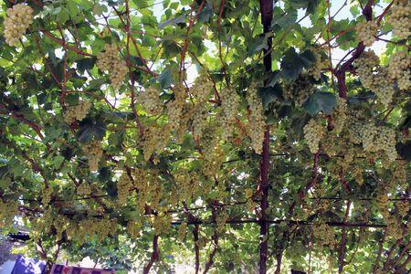 uzbek: Uzbek Grapes Stock Photo