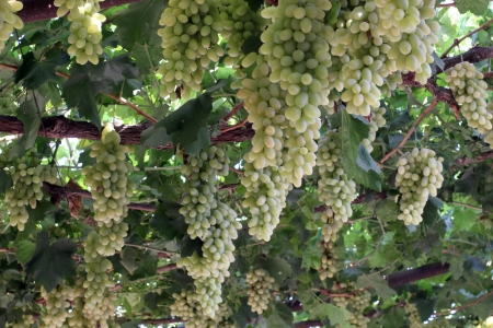 Uzbek Grapes Stock Photo