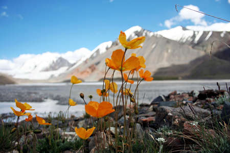 Flowers in Tien Shan Mountains, Kyrgyzstan