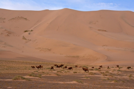 camels dune desert - mongolia photo