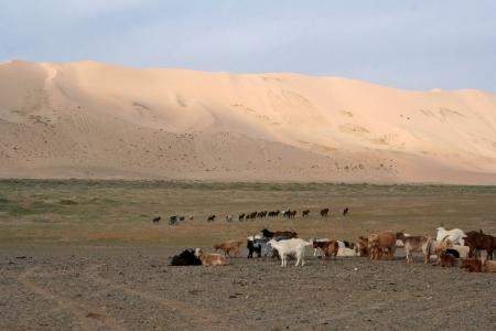 goat - dune - desert - mongolia  photo