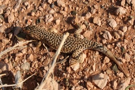 Desert Lizard, Mongolia , Gobi Desert photo