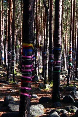sacramental: Colored ribbons to the Holy trees, near the healing spring near the village of Arshan, the Republic of Buryatia, Siberia, Russia