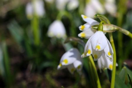 spring snowflakes flowers - leucojum vernum carpaticum  Stock Photo - 18990538