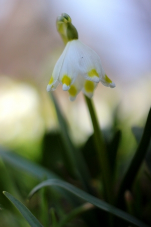 spring snowflakes flowers - leucojum vernum carpaticum  Stock Photo - 18999599