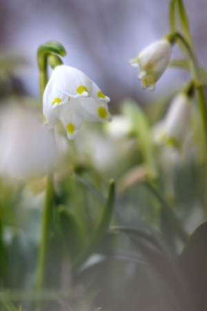 spring snowflakes flowers - leucojum vernum carpaticum  Stock Photo - 18990559