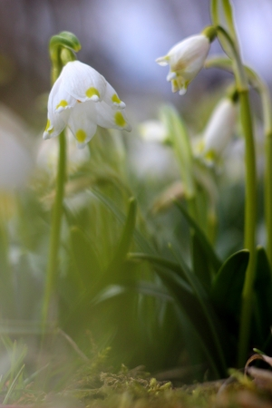spring snowflakes flowers - leucojum vernum carpaticum  Stock Photo - 18990426