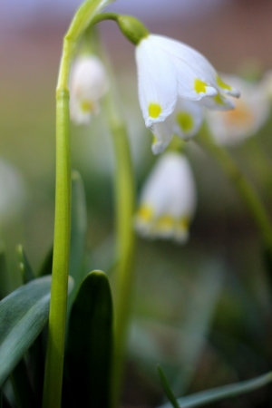 spring snowflakes flowers - leucojum vernum carpaticum  Stock Photo - 18990561