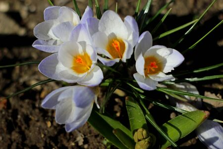 Spring  crocus flowers  photo
