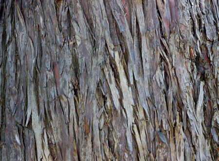 cypress tree: Old Wood Cypress Tree Texture Background Pattern