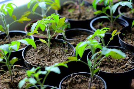 tomato seedling in pot