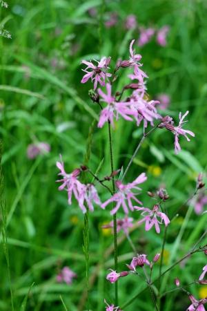 ragged robin: Coronaria flos cuculi the pink field flowers  Stock Photo