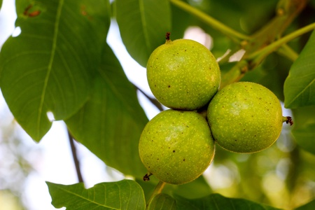 Green walnuts growing on a tree, spring season