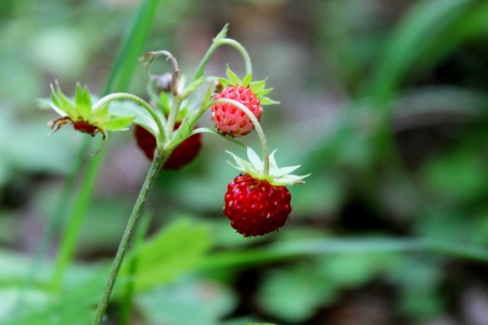 wild strawberry photo