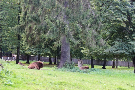 The European bison (Bison bonasus) can be found living wild in the areas of Podlasie, Poland. photo