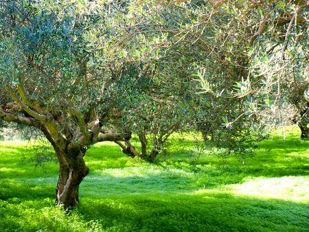 Olive grove in Crete, Greece Stock Photo