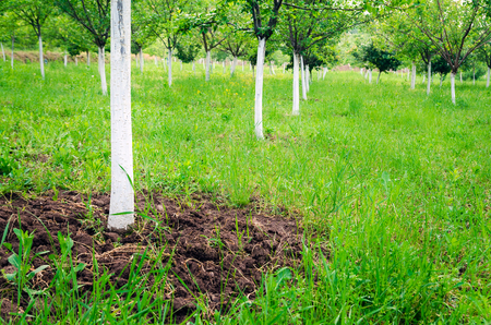 Field of fruit trees painted in protective white